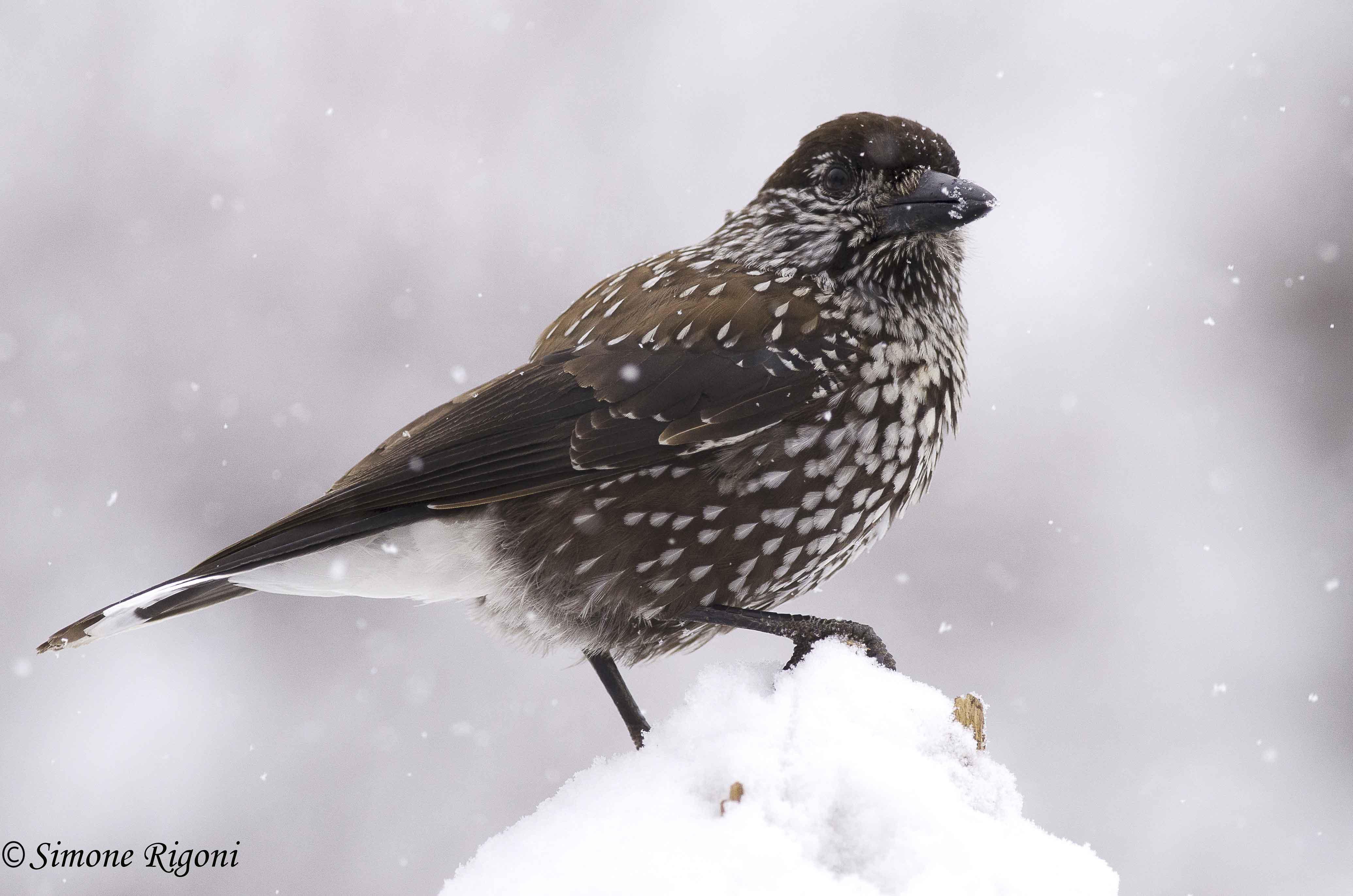 _DSC3495 Nocciolaia sotto una forte nevicata