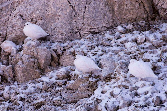 DSC_7884 Pernice bianca - 3 femminucce alla ricerca di un compagno