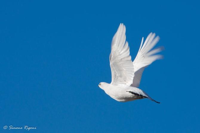 dsc_9404-il-volo-della-pernice-bianca