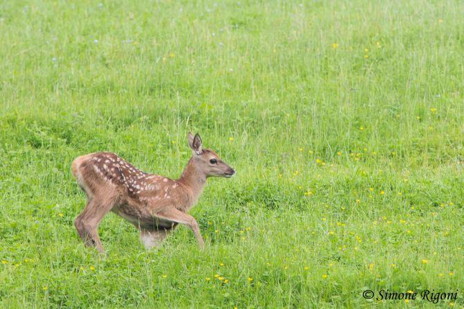dsc_1690-piccolo-di-cervo