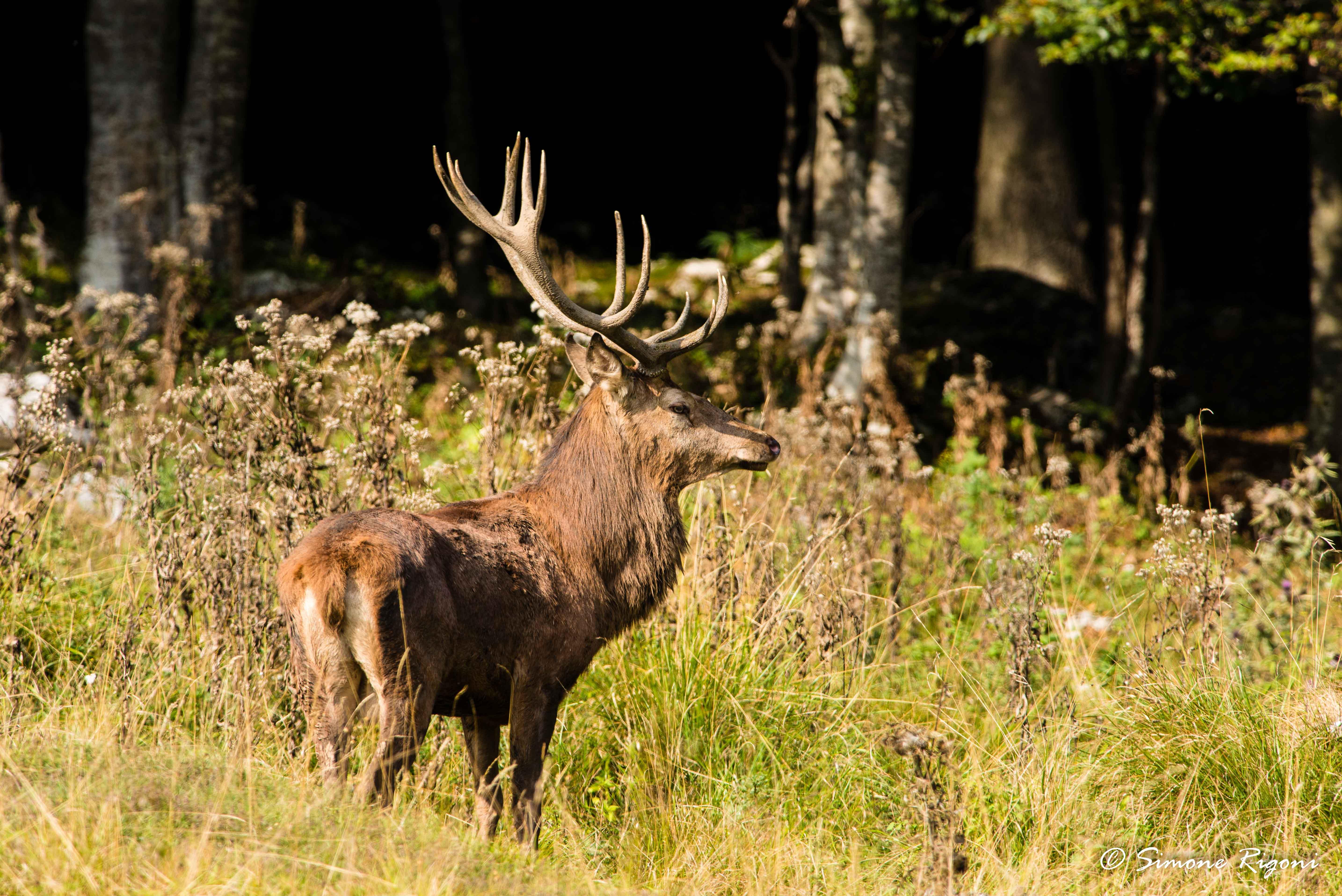 dsc_3565-cervo-nel-periodo-degli-amori