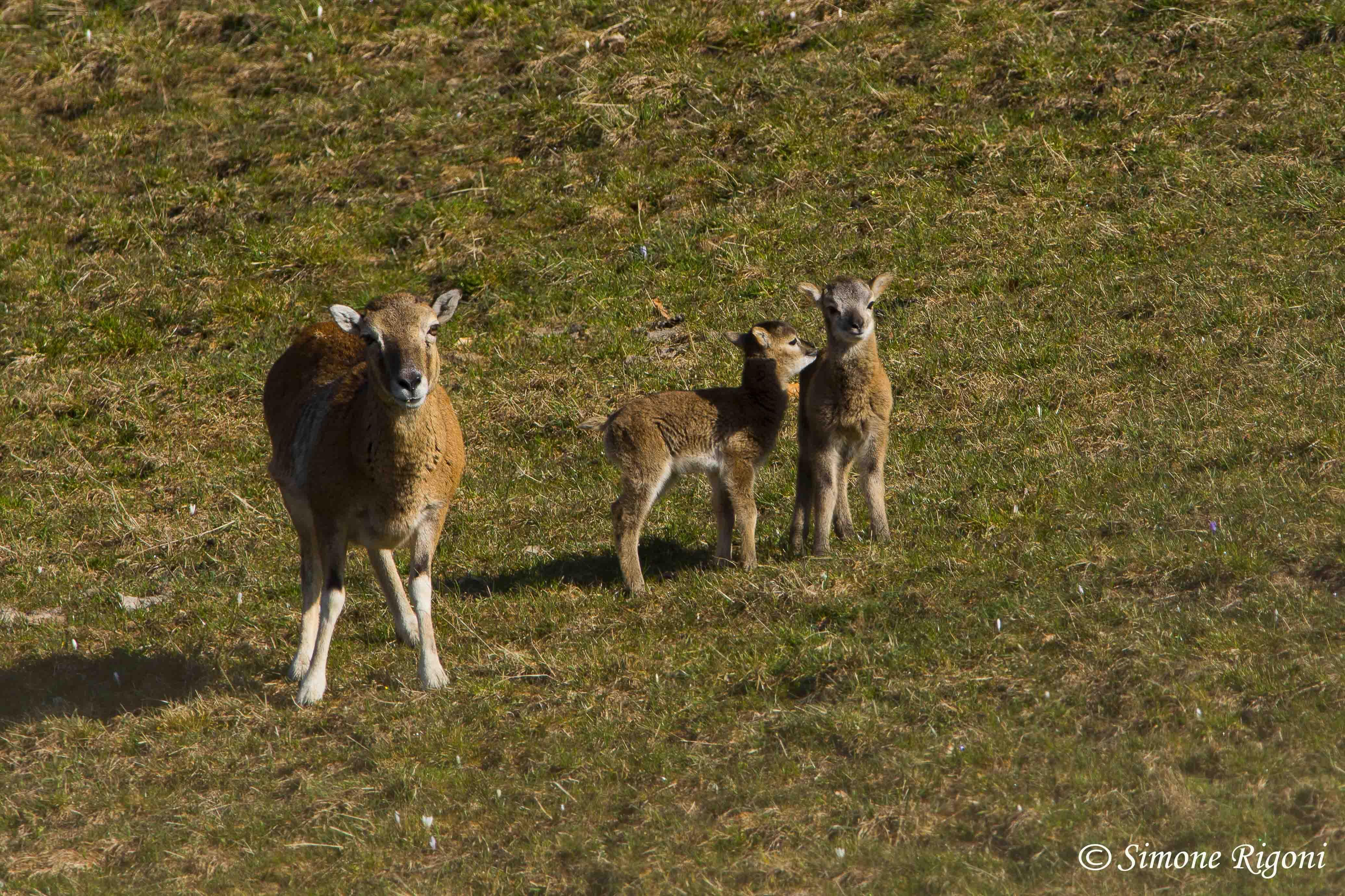 DSC_6301 Mamma muflona con le sue piccole creature