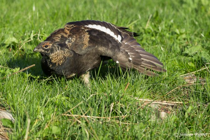 dsc_6546-giovane-maschio-di-gallo-forcello-ai-primi-mesi-di-vita