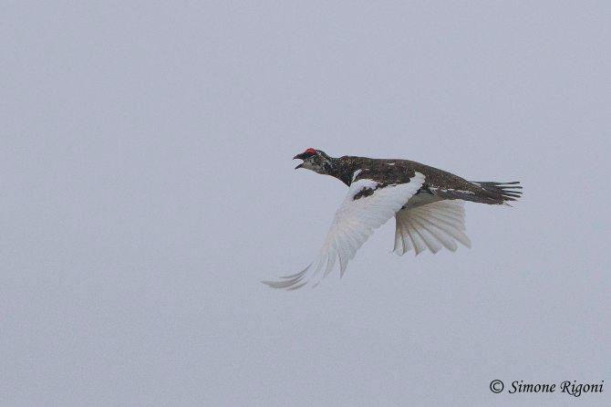 DSC_2530 Il volo della Pernice bianca