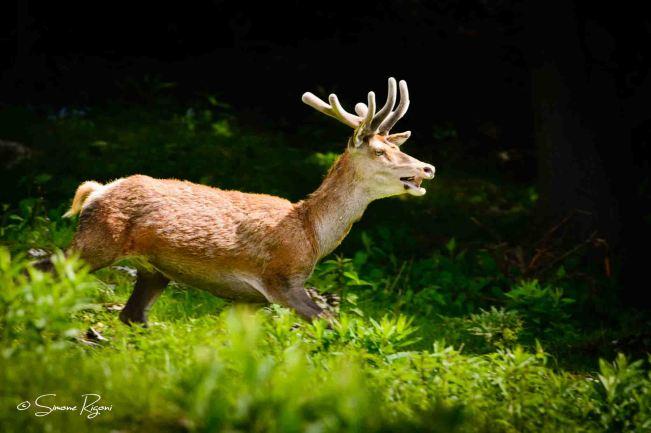 _DSC4563 Cervo con velluto