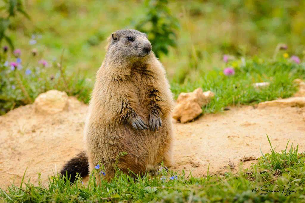 _DSC9699 Marmotta