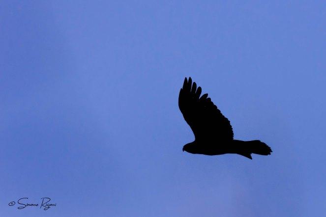 DSC_0121 Aquila reale in Silhouette