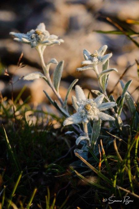 DSC_4118 Stella alpina
