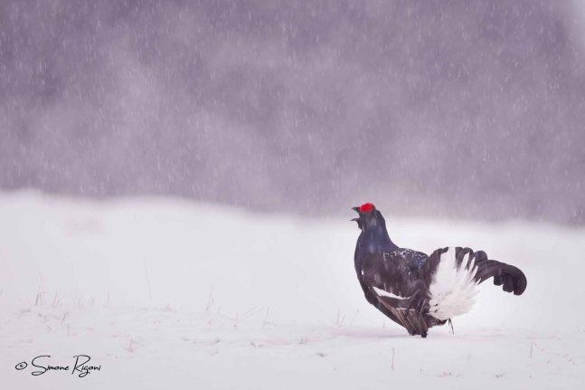 DSC_8160 Gallo Forcello durante una nevicata