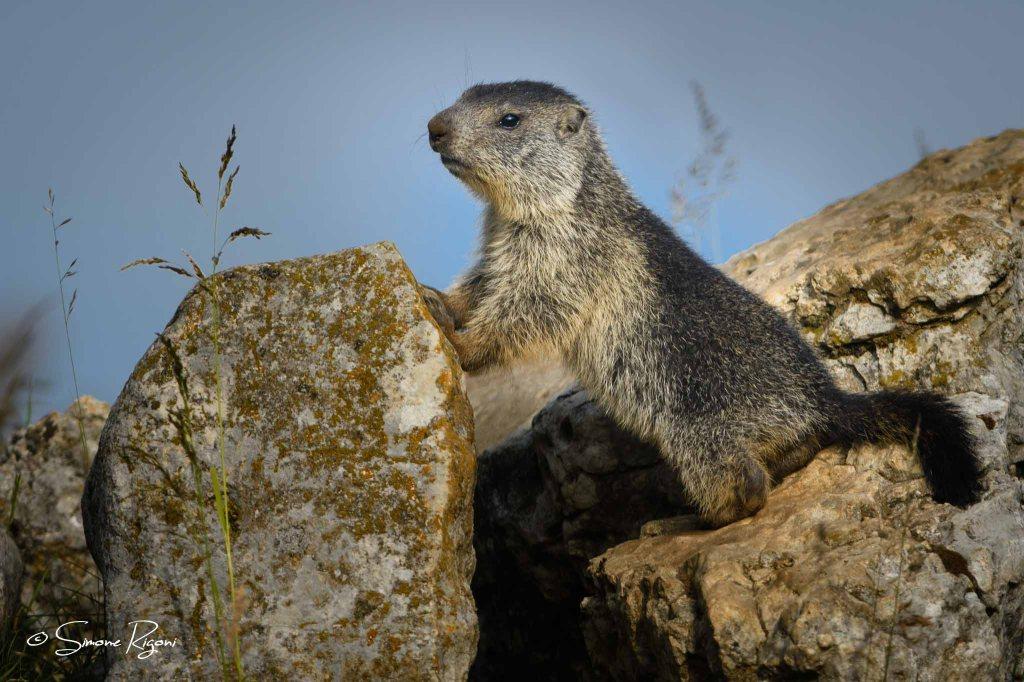 SIM_5746 Piccolo di marmotta