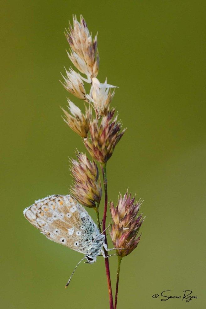 SIM_9990 Lepidoptera Lycaenidae